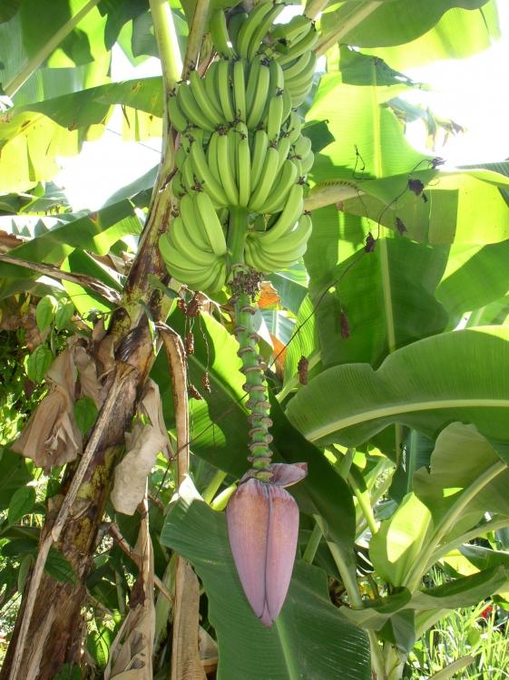 regime-de-banane-et-sa-fleur-1305648041-1318215